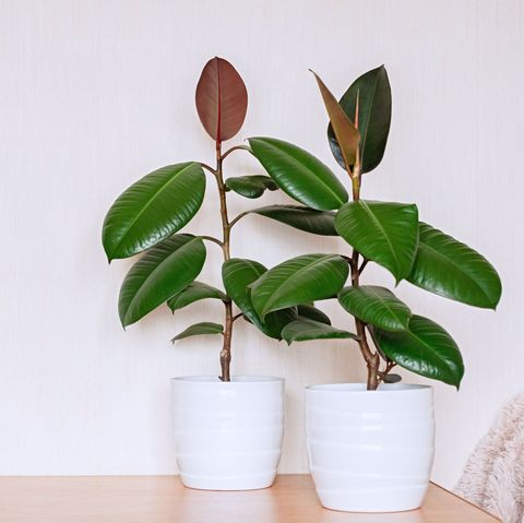 two houseplants in white ceramic flower pots ficus elastic on a light background