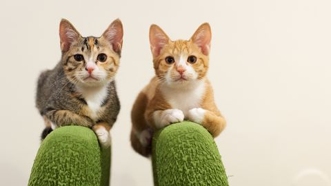 two kittens on the top of green chairs