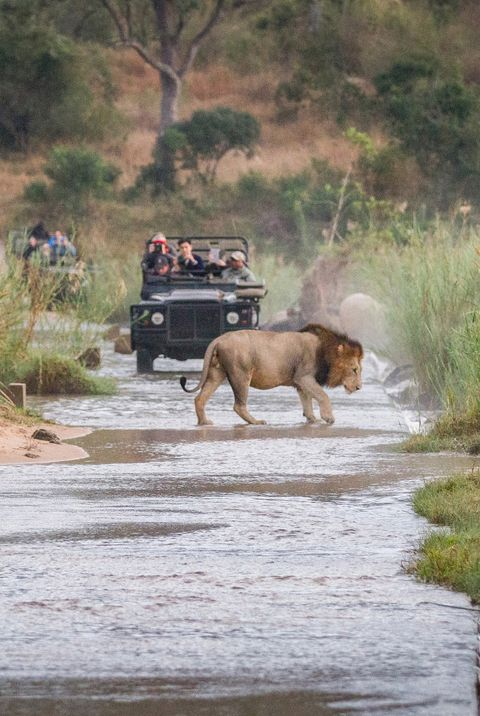 Two male lions, Panthera leo, walk across a shallow river, one crouching drinking water, two game vehicles in backgrounf carrying people