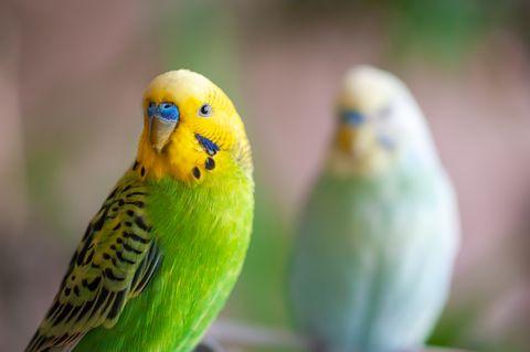 deux perroquets regardant la caméra