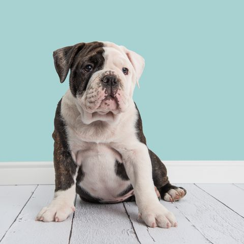 Close-Up Of English Bulldog Sitting Against Wall
