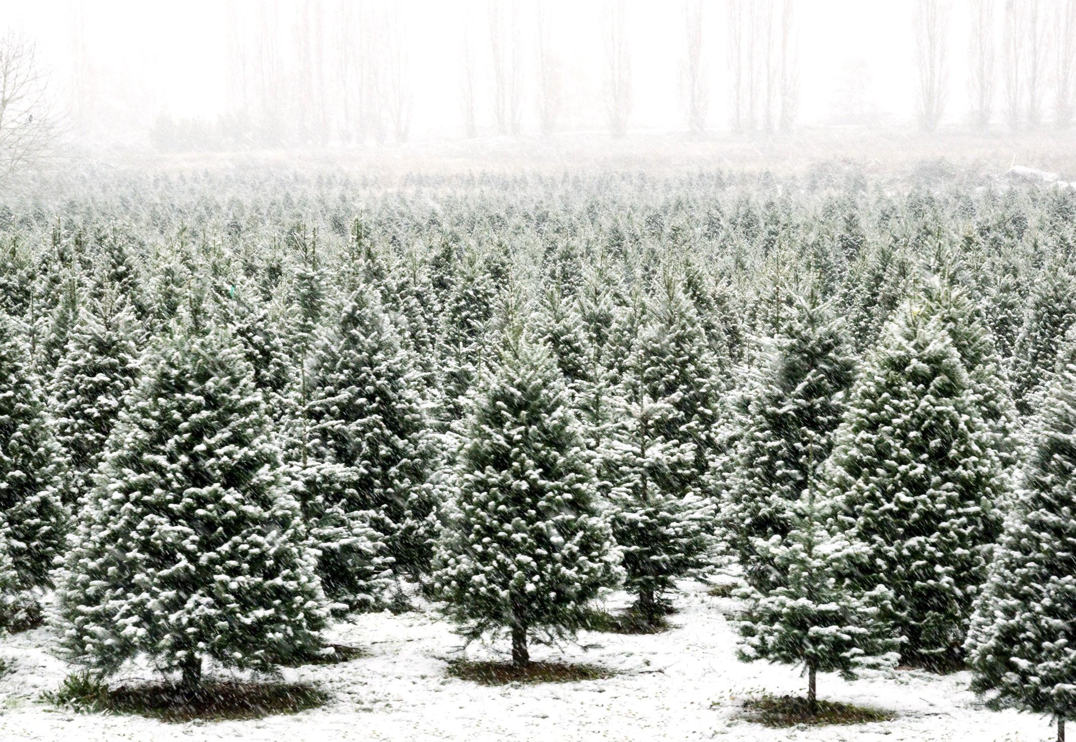 15 Best Types Of Christmas Trees Top Christmas Tree Varieties