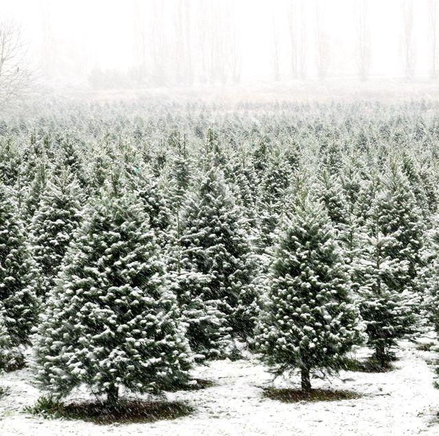types of christmas trees farm
