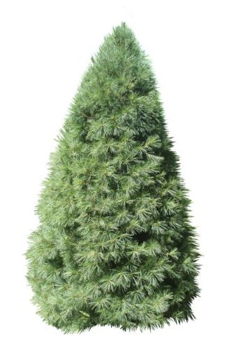 types of christmas trees white pine