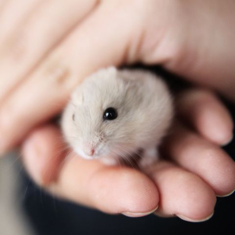 Hamster, Gerbil, Rat, Mouse, Muridae, Muroidea, Skin, Rodent, Hand, Finger,