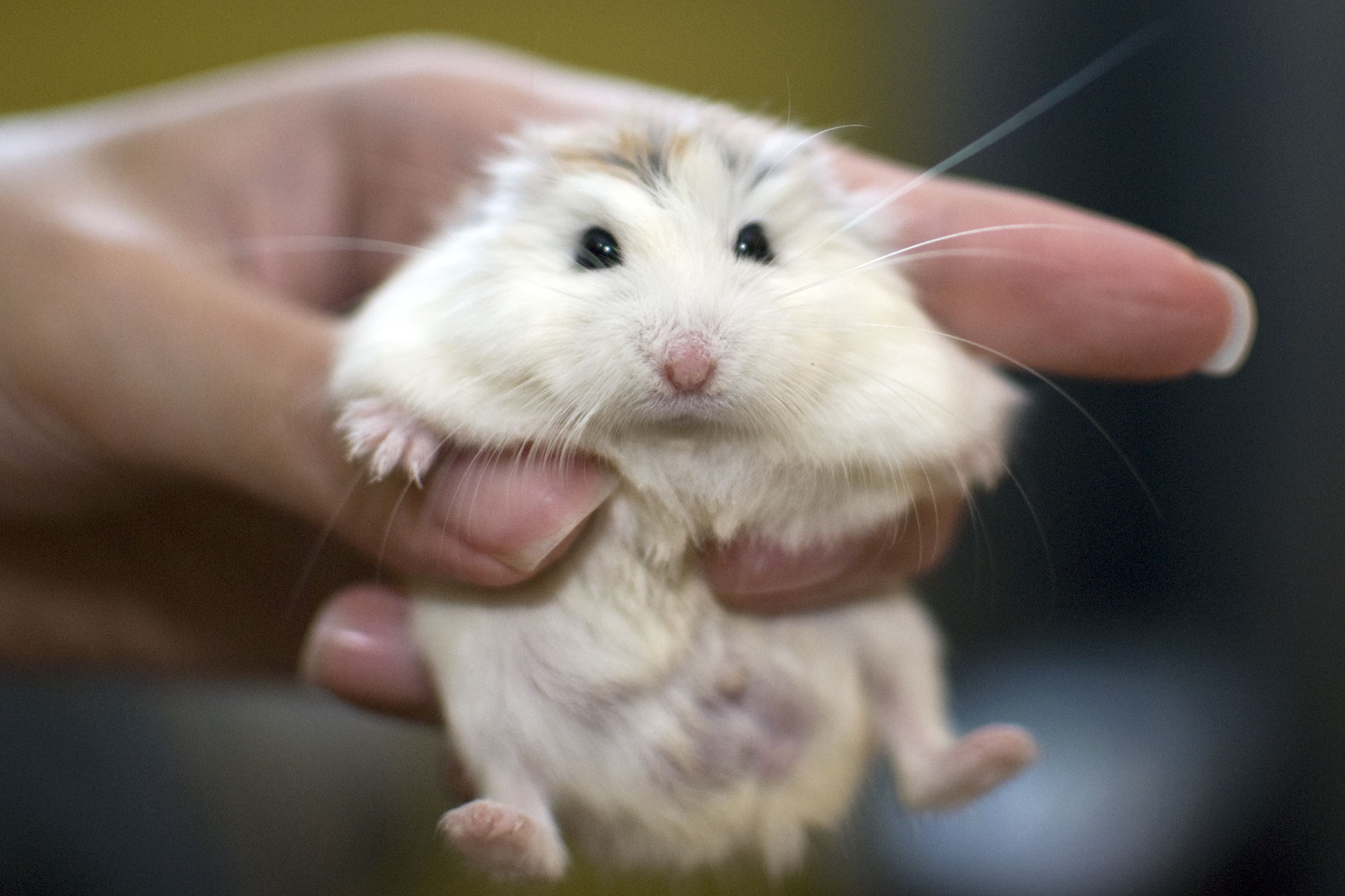 The Best Types Of Hamsters Dwarf Hamster Syrian Hamster