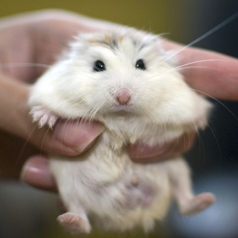 Hamster, Rat, Mammal, Gerbil, Mouse, Muridae, Muroidea, Rodent, Skin, Whiskers,
