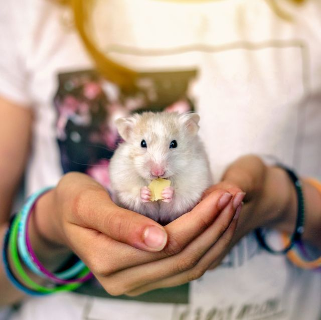 The Best Types of Hamsters: Dwarf Hamster, Syrian Hamster
