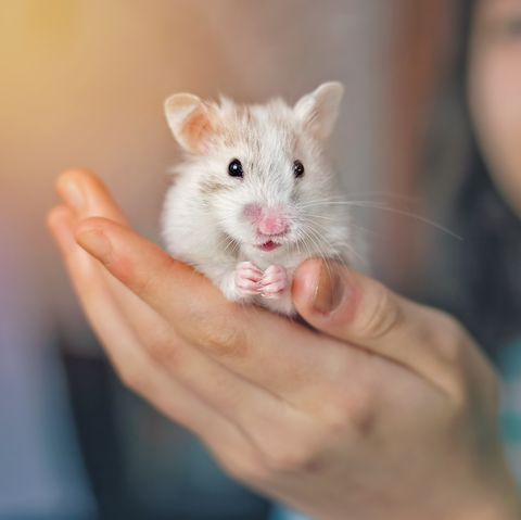 Gerbil, Rat, Hamster, Mammal, Mouse, Muroidea, Skin, Muridae, Rodent, Whiskers,