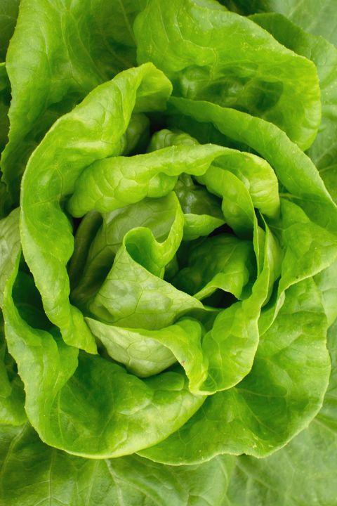 10 Types Of Lettuce Different Varieties Of Lettuce