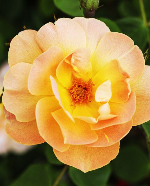 types of roses   the lark ascending english shrub rose