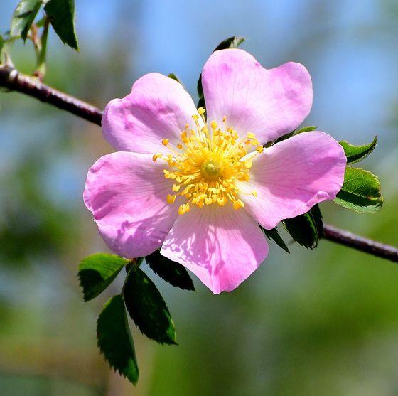 types of roses   rosa blanda