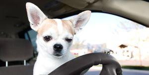 Uber Lost & Found 2019 las cosas que nos olvidamos en un Uber... incluido un chihuahua