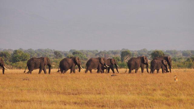 elephants in uganda   travelling whale