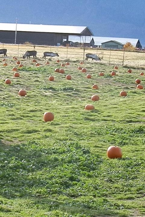 Pumpkin Patch Near Me - Reindeer Farm