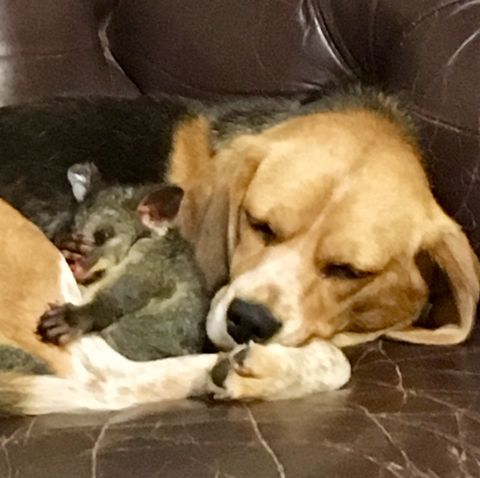 Beagle Adopts A Baby Possum After Losing Her Litter Of