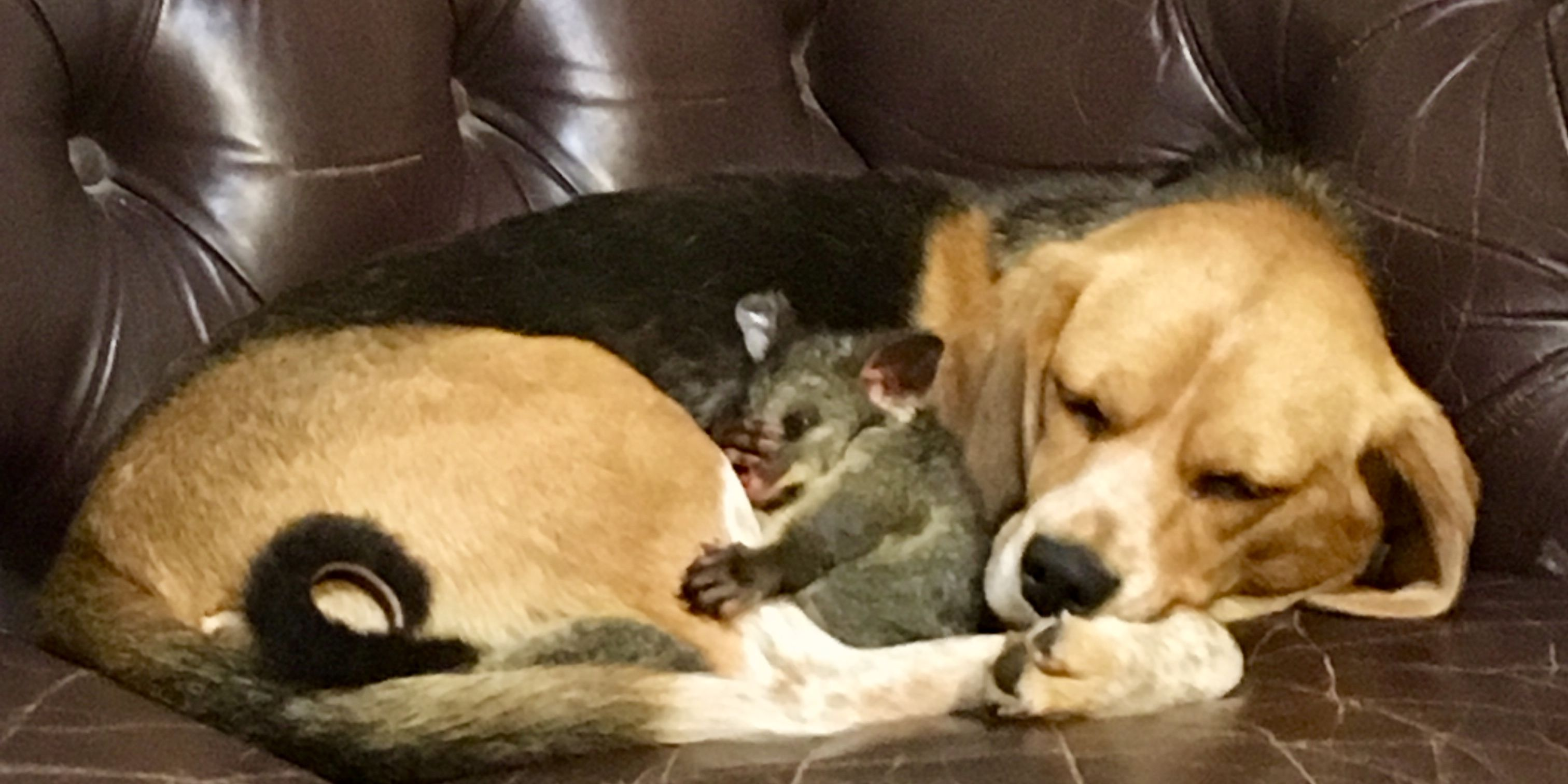 Molly the Beagle has adopted a baby possum after losing her litter of puppies