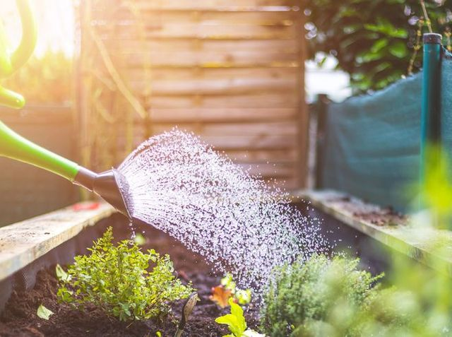 watering vegetables and herbs in raised bed fresh plants and soil