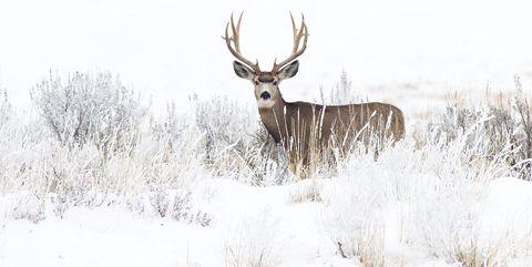 Deer, Wildlife, Antler, Reindeer, Barren ground Caribou, Atmospheric phenomenon, White-tailed deer, Elk, Horn, Winter,