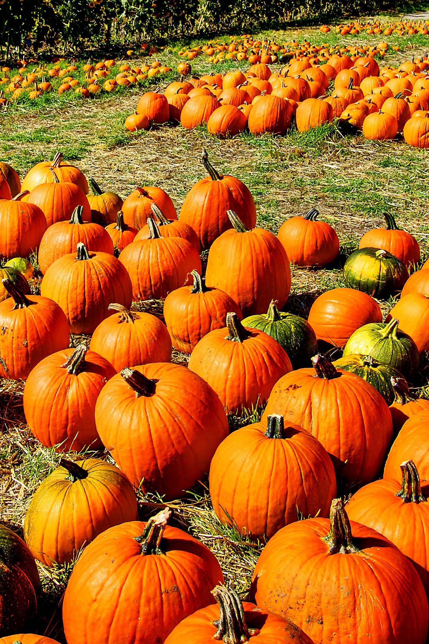 valas pumpkin patch - pumpkin farms near me
