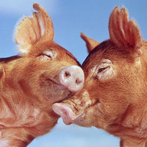 valentines day jokes pigs