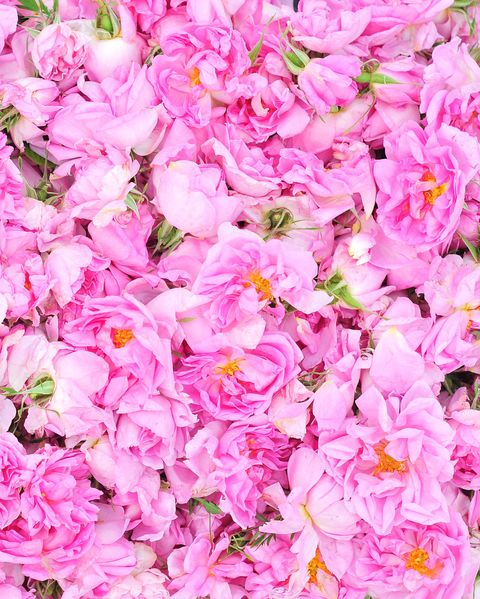 Valley of the roses, Rosa damascena