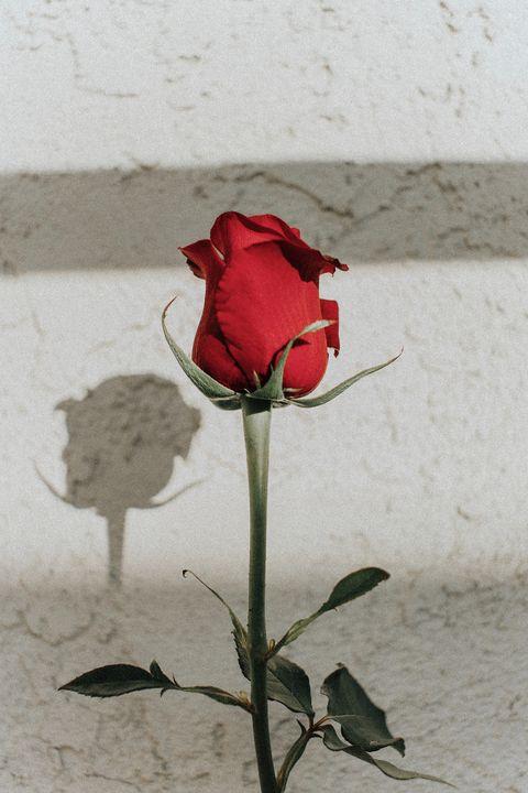 Red, Flower, Garden roses, Rose, Plant, Petal, Rose family, Pink, Flowering plant, Botany,