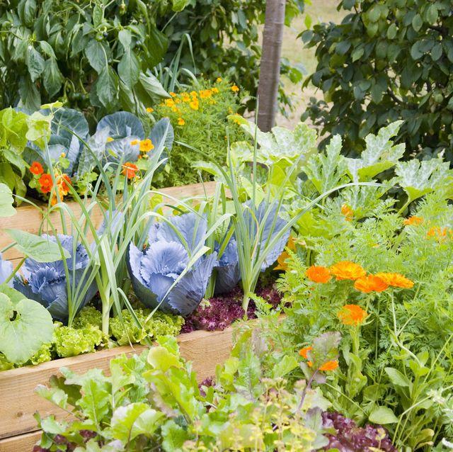 vegetables growing in raised bed