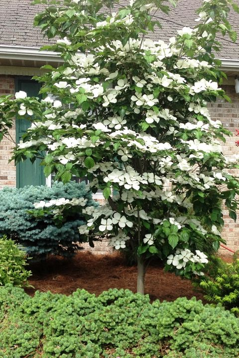 9 Trees For Small Yards Best Small Trees For Privacy And Shade