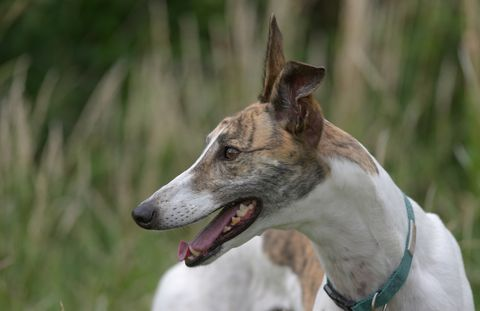 vibrant horizontal portrait of a pet white and brindle greyhound looking away blurred background