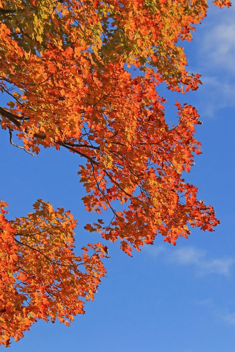 vibrant multicolored autumn leaves against blue sky