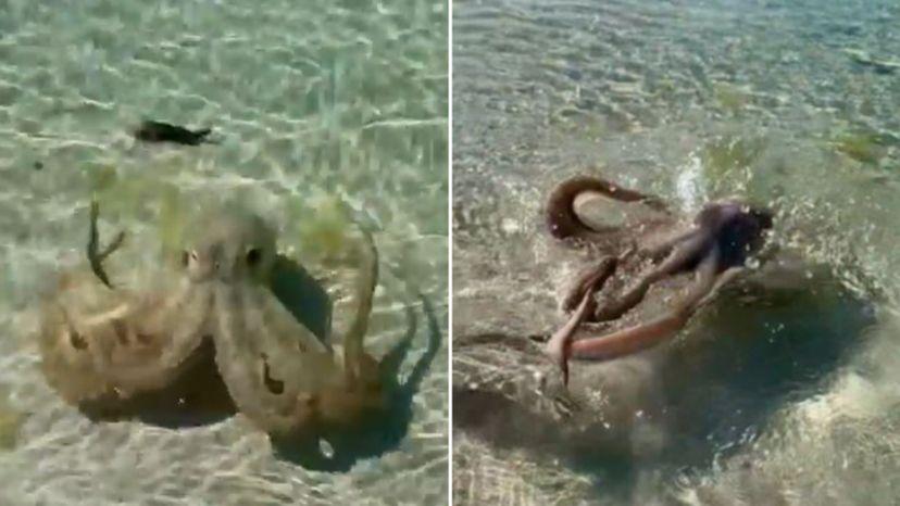 El vídeo de un bañista atacado por un pulpo gigante