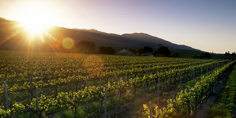 A Vineyard Glows In The Late Afternoon Sunshine, Salinas Valley, California
