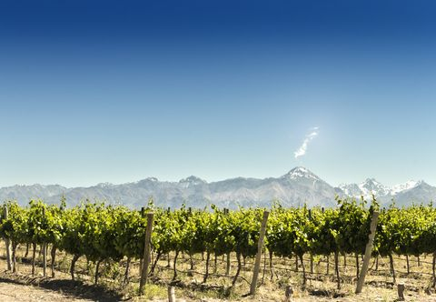 vineyard with mountains background