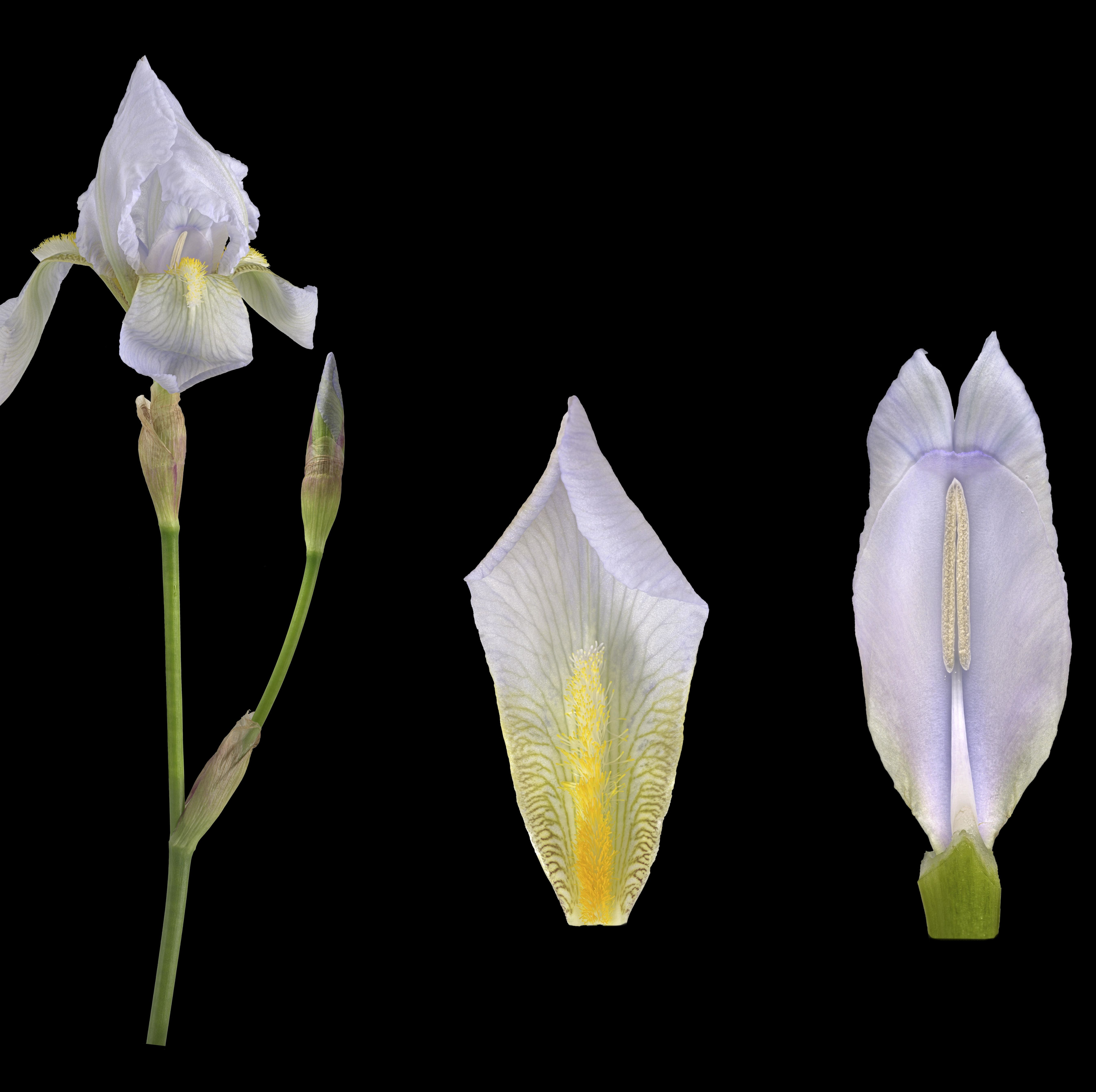 How the Humble Iris Root Became One of the Most Prized—and Pricey—Fragrance Ingredients on the Planet