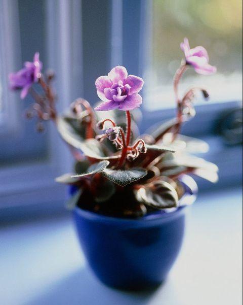 las violetas africanas son plantas de interior muy vistosas
