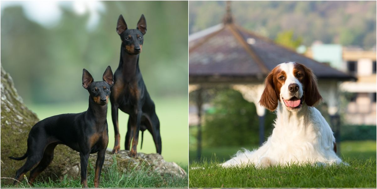 6 vulnerable dog breeds that need saving from extinction