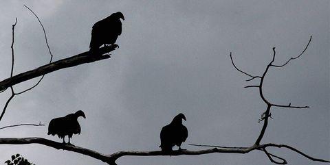 Bird, Branch, Sky, American crow, Beak, Silhouette, Crow-like bird, Rook, Twig, Crow,