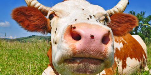 Waarom hebben koeien vlekken?