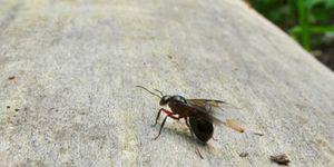 vliegende-mieren