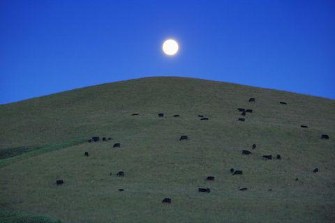 wagyu cattle at night