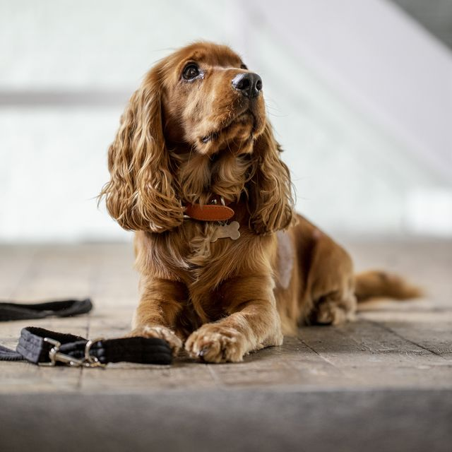 16 of the uk's most expensive dog breeds in 2021