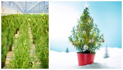 Waitrose rosemary christmas tree photo