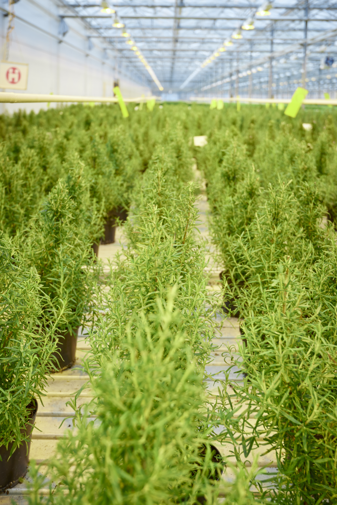 Waitrose is selling rosemary Christmas trees again this year – and yes, you can eat them too