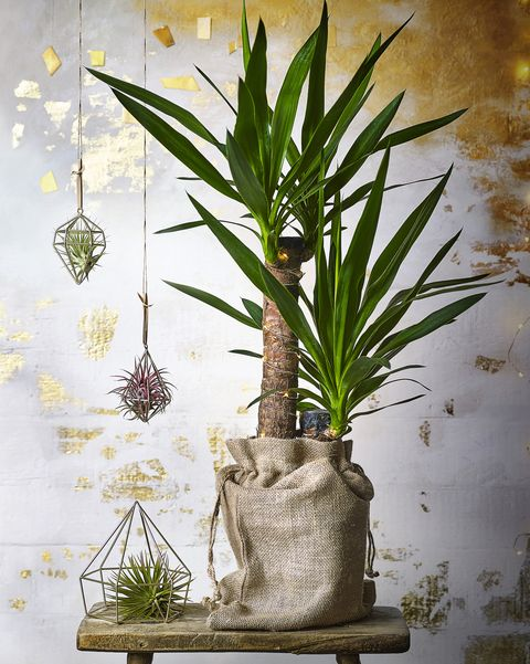Yucca light-up plant and air plants