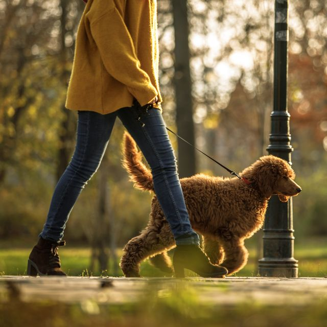 walking time in the park for red poodle and its owner