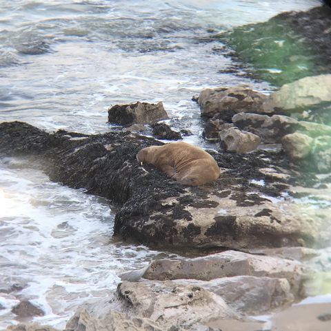 rspca spots arctic walrus relaxing on pembrokeshire coast in rare sighting