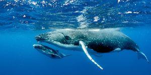 Daarom spoelen walvissen aan