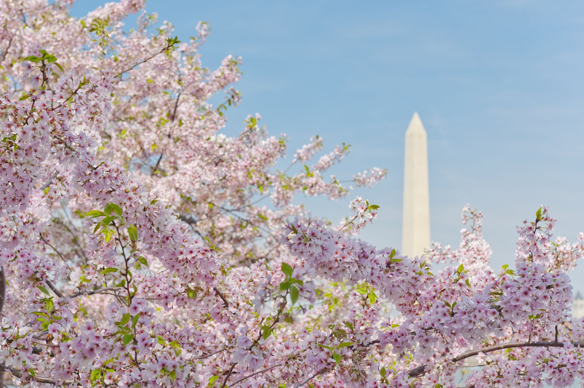 USA, Washington DC, Cherry blossom with Washington Monument in background
