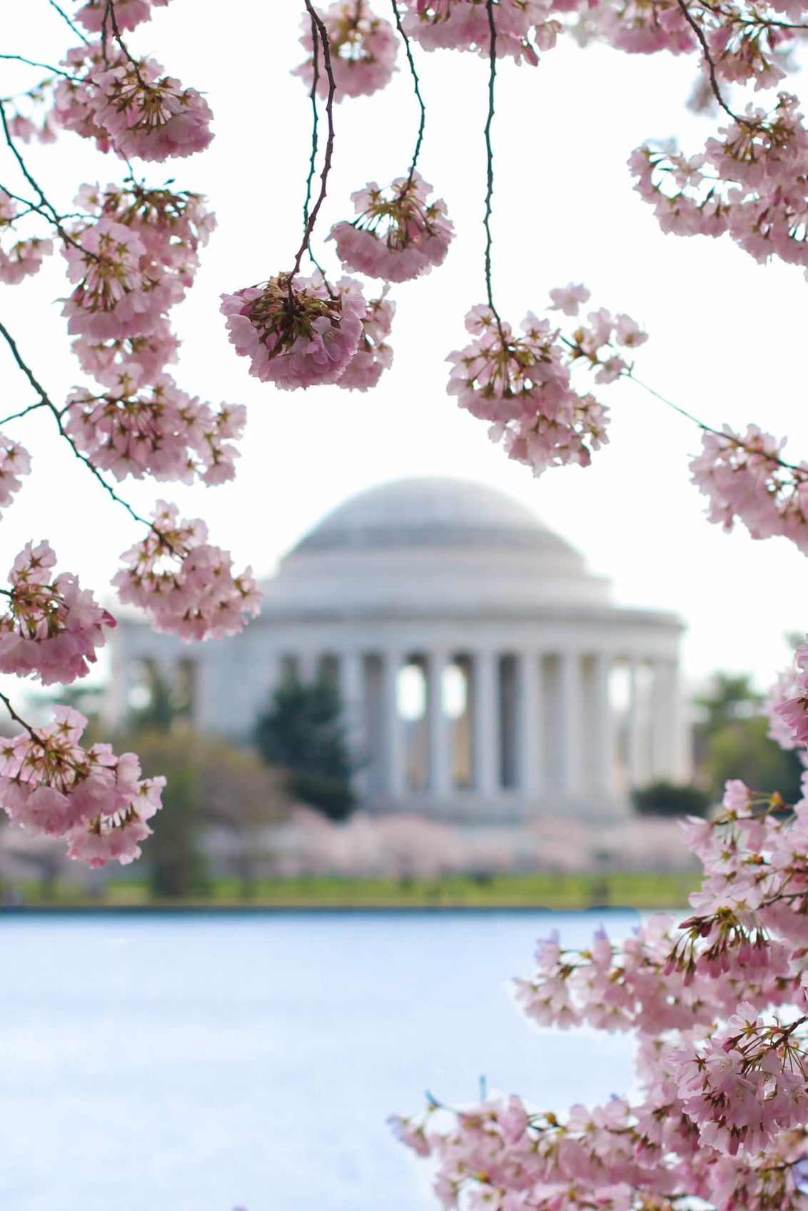 Cherry blossoms in Washington DC Jefferson Memorial